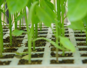 semillero-pimiento-cerca